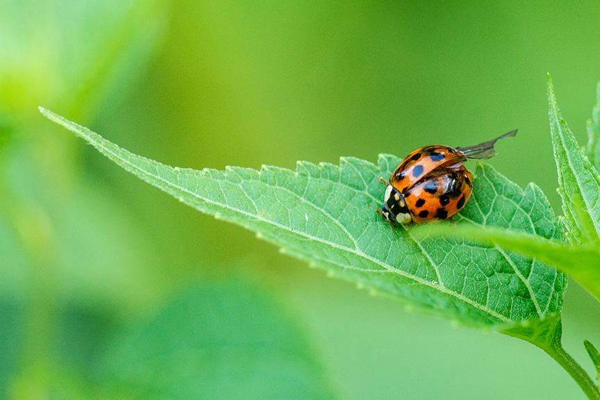 Lady bug v2_43G7525