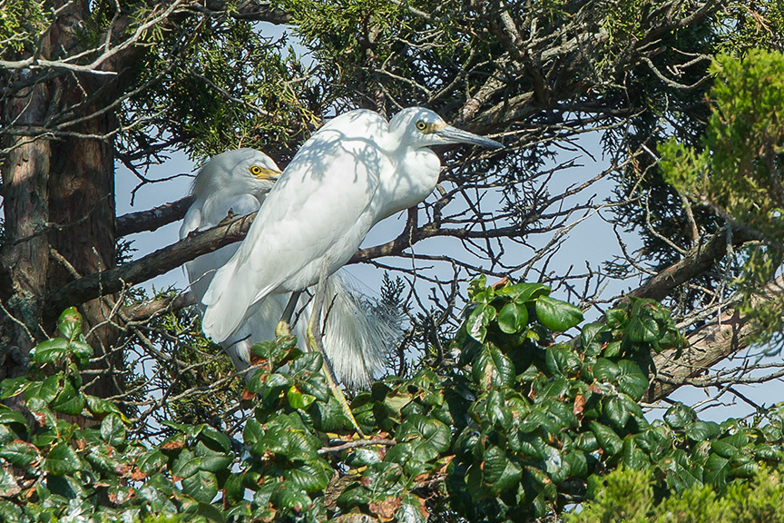 Little blue Heron Immature v2 Brig 2015_43G0069