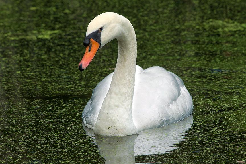 Mute Swan v2 mcfaul_43G9035
