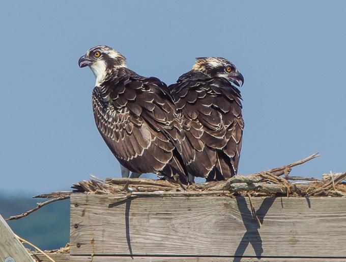 Osprey nest crop brig 2015__43G0742