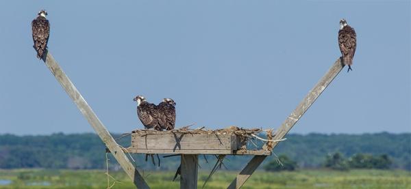 Osprey nest pano v1 brig 2015__43G0742