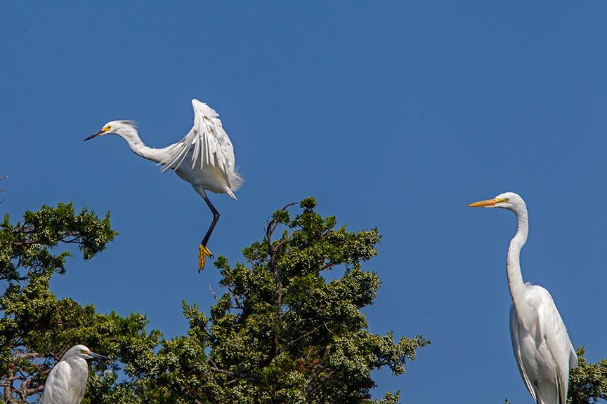 Snowy Egret & Great & Lit Blu v1 brig 2015_43G0084