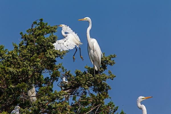 Snowy & Great egrets v1_43G0081