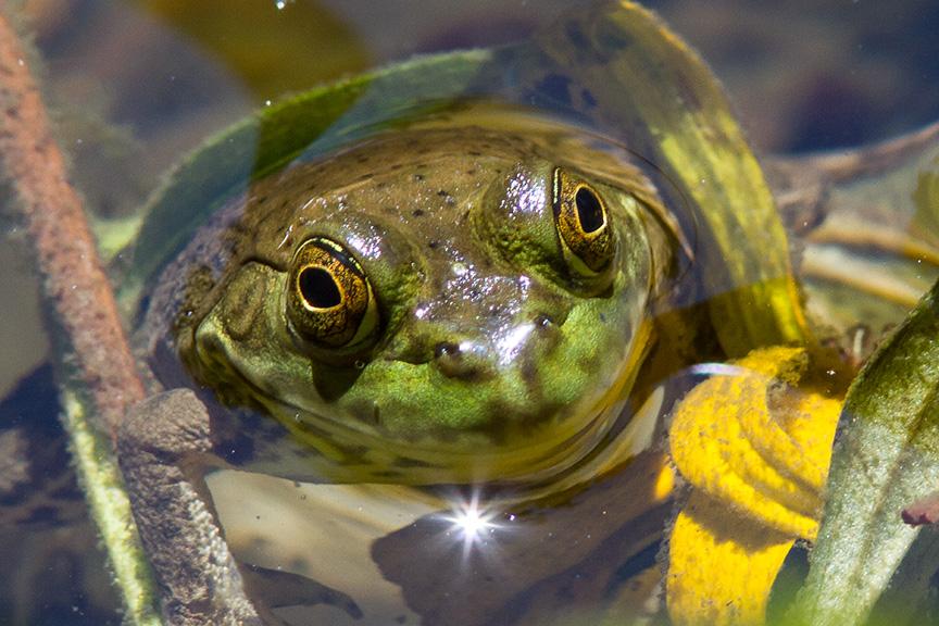 Frog v1