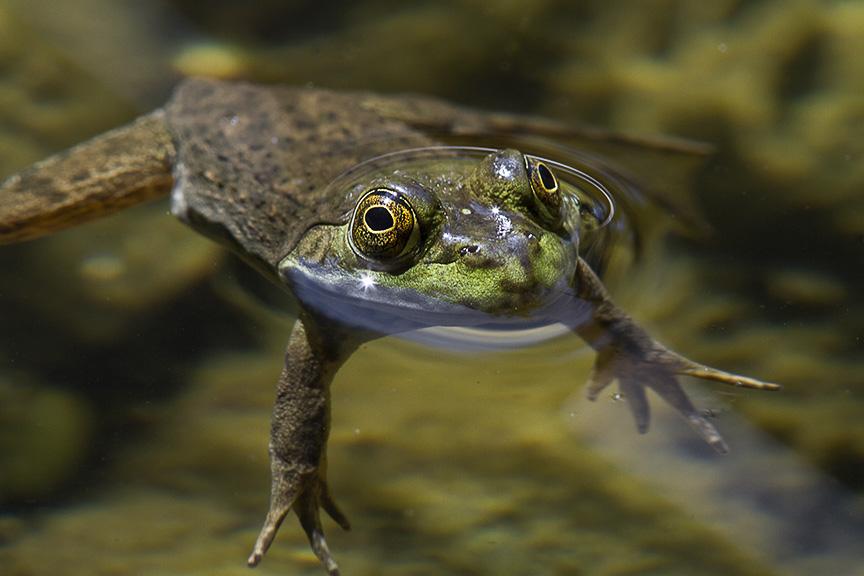 frog v2_MG_9473