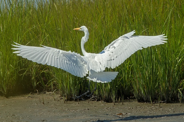 Great Egret v3 Brig_43G0970 2