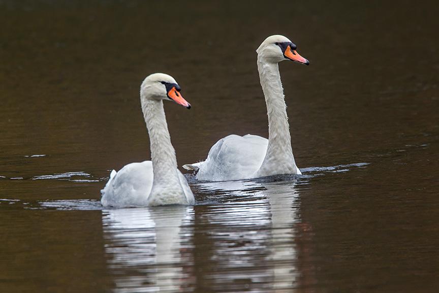 Mute Swan McFaul 43G1044 v12