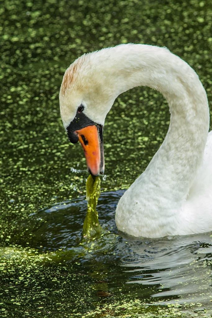 Mute swan v1 McFaul v2_43G9009