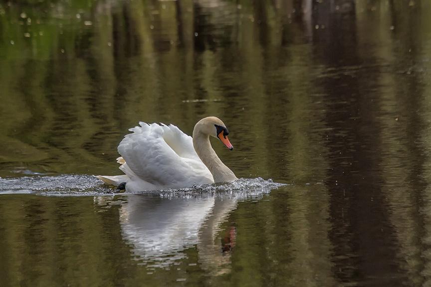 Mute Swan v3 McFaul_MG_6654-2