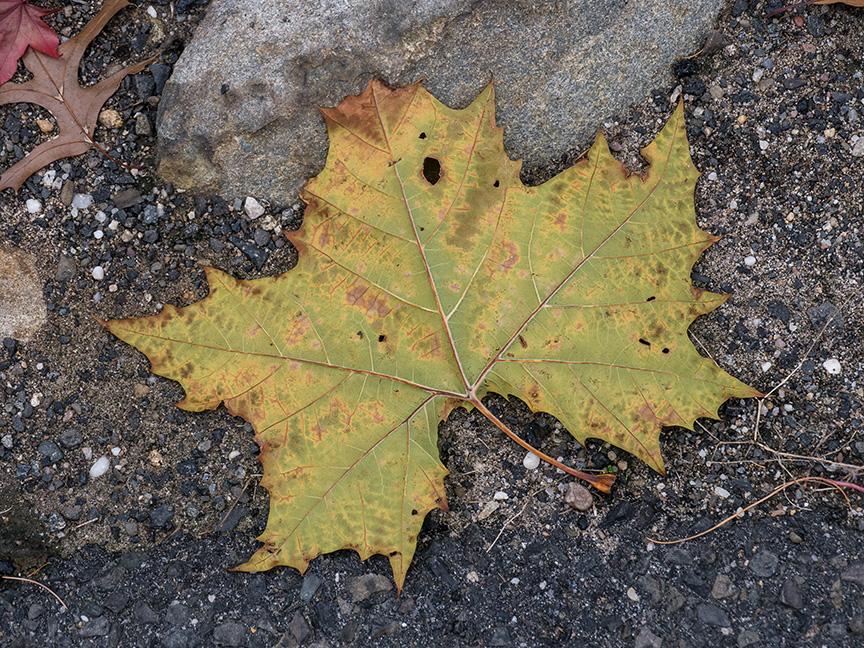 fall leaves 2015_1350054