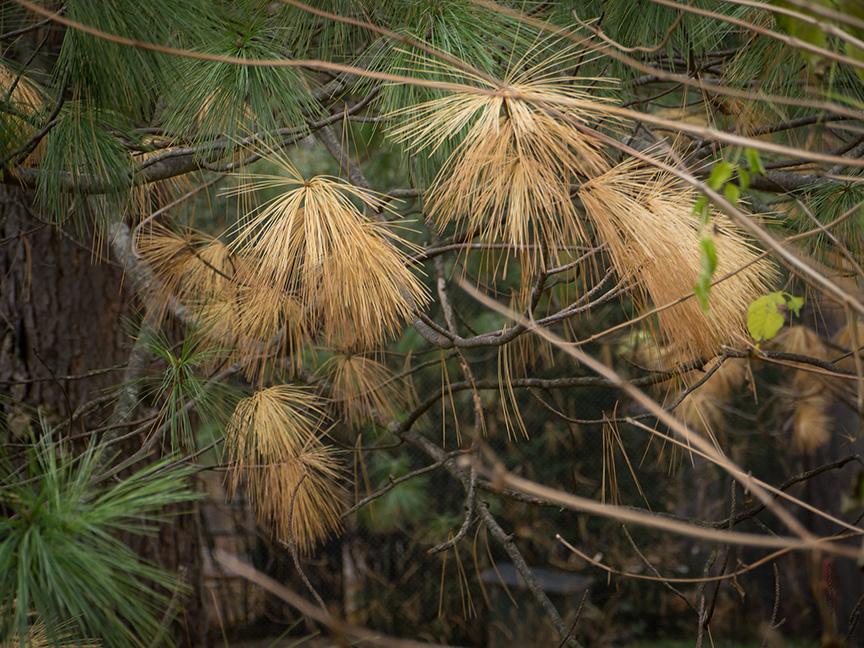 fall pine needles v1_1350217
