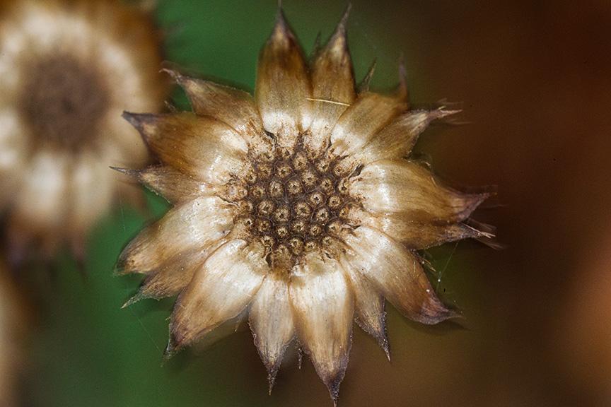 Fall Wildflower_43G4429