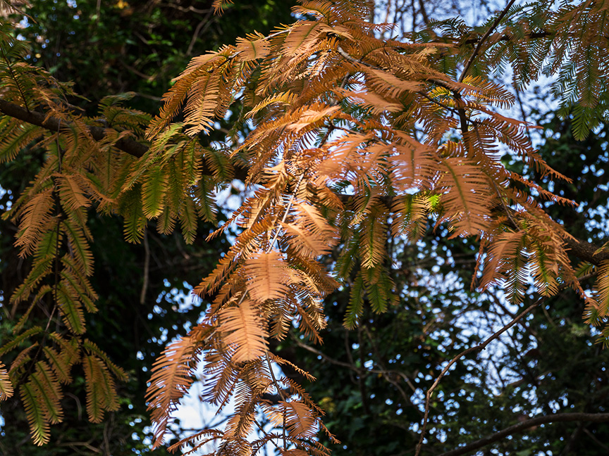 Metasequoia fall_1280819 copy