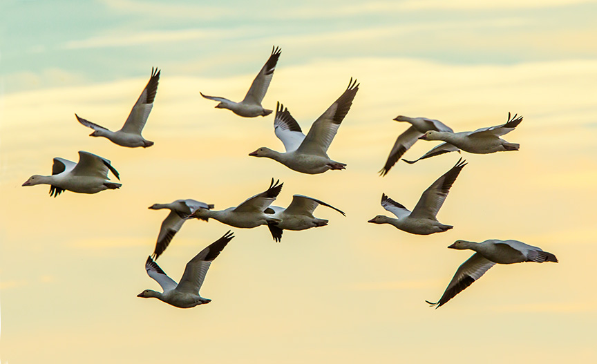 Snow Geese Brig 11 15 v2_43G6698