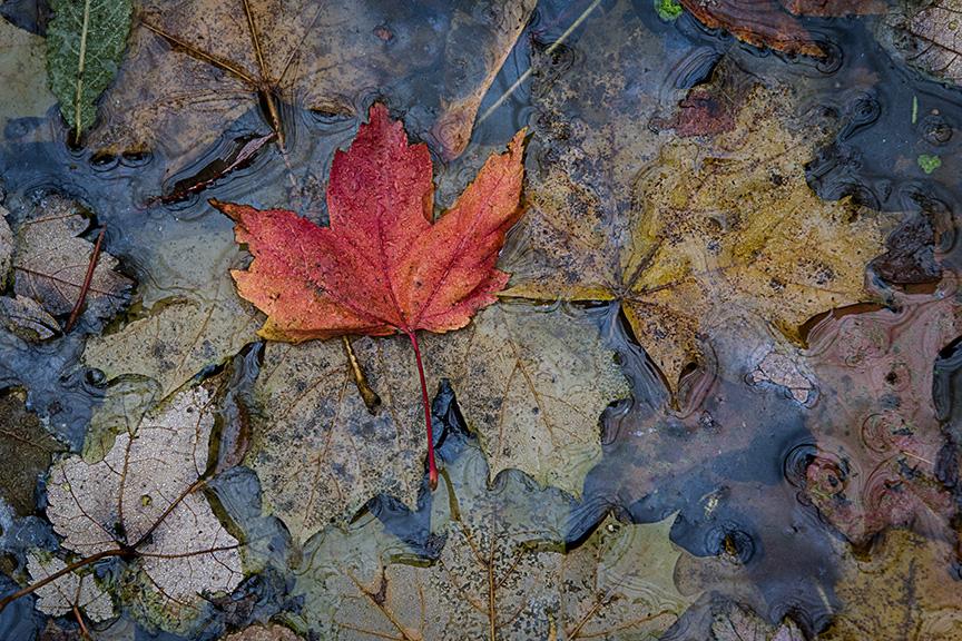 wet leaves_43G4668