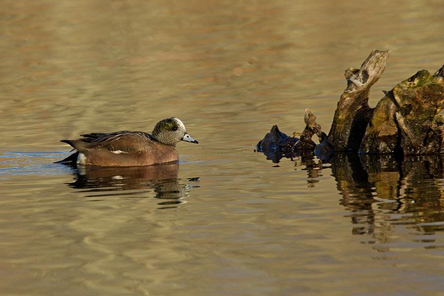 American Wigeon duck v1 cf 2015_43G0928