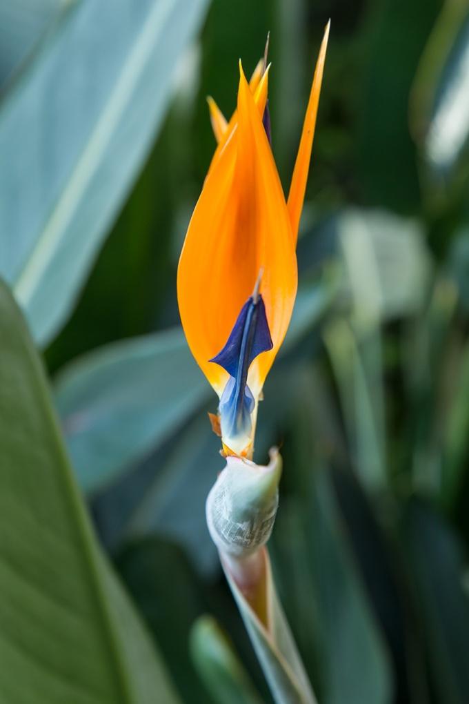 Bird of paradise v1_43G9031