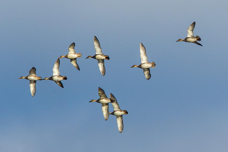 Duck flight v2_43G1124