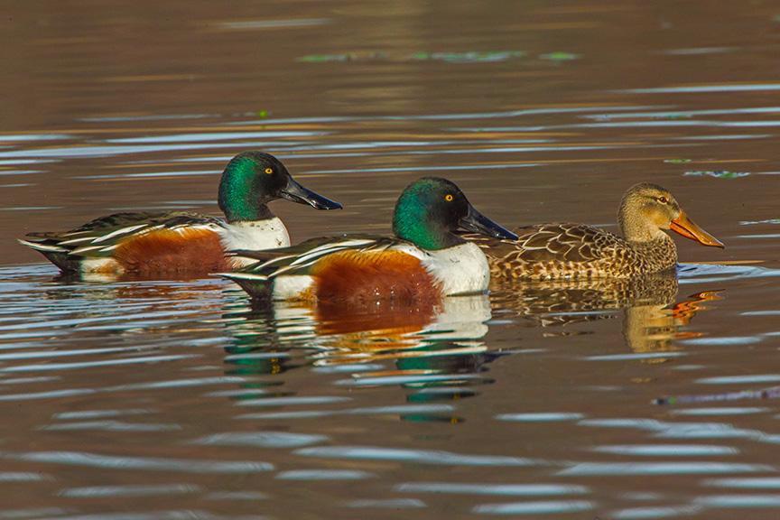 Shoveler Ducks v1_43G2434-2