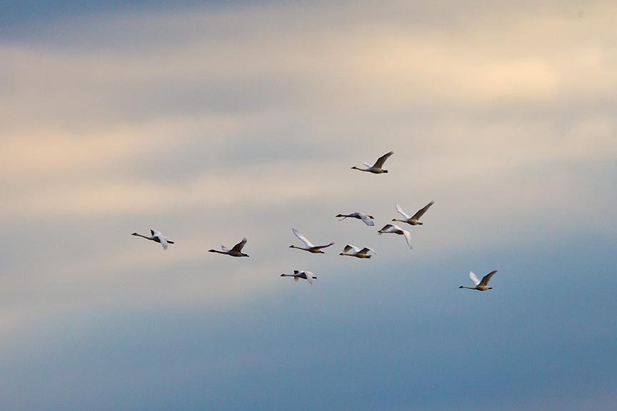 tundra swans bwr _43G0068