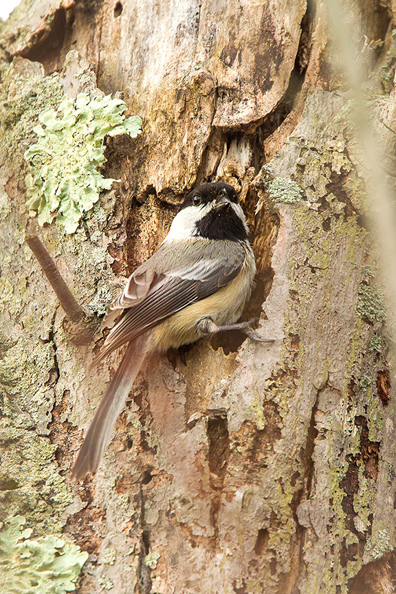 chickadee nest v1 3 2016_43G5956