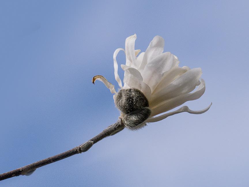 magnolia v2_1360076