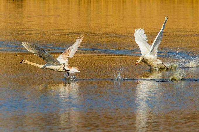 mute swan chase cf v1_43G6898