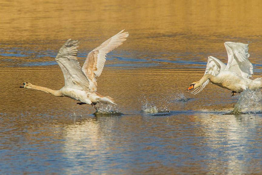 mute swan chase cf v2_43G6900