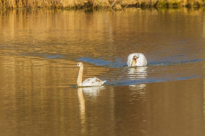 mute swan chase start cf v1 _43G6885