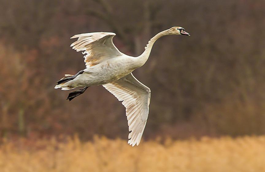 mute swan immat cf 2016 v2_43G6122