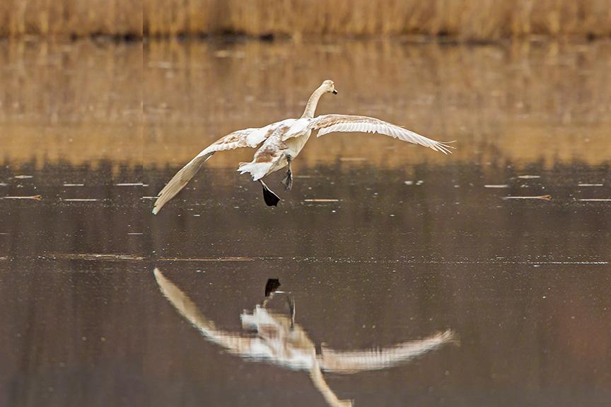 mute swan immature v6 cf 2016 adjust_43G6126