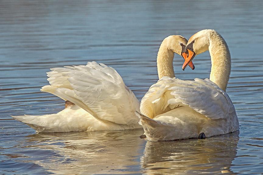 mute swans pair cf v3