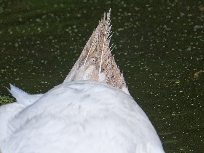 swan tail mcFaul_1330315 v1