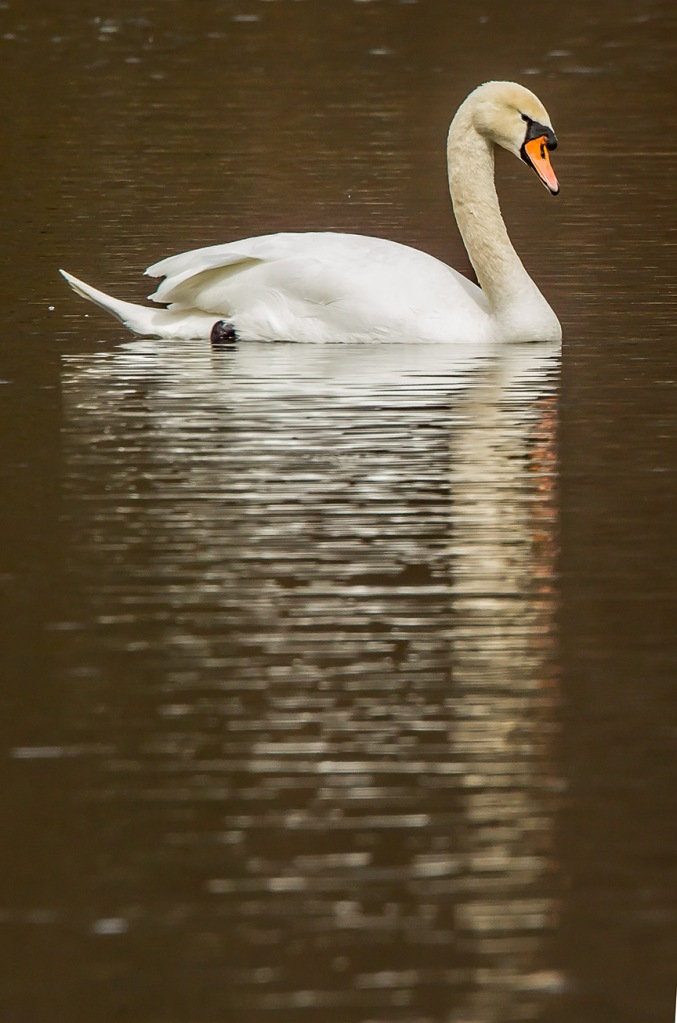 mute swan refection v1_43G7273-2