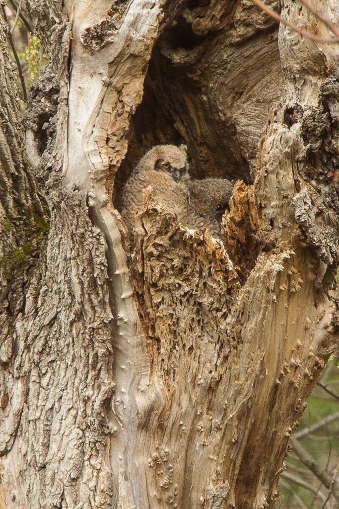 owls v2 mcfaul 2016_43G7046