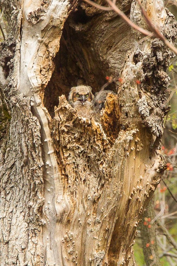 owls v2 mcfaul 2016_43G7580