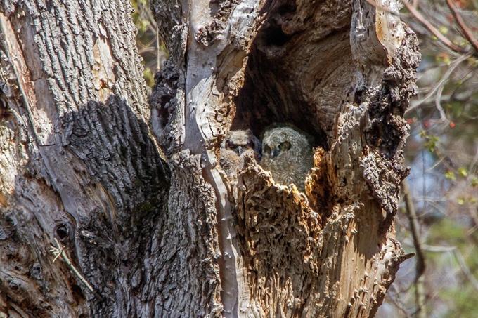 owls v2 mcfaul v2_MG_2155