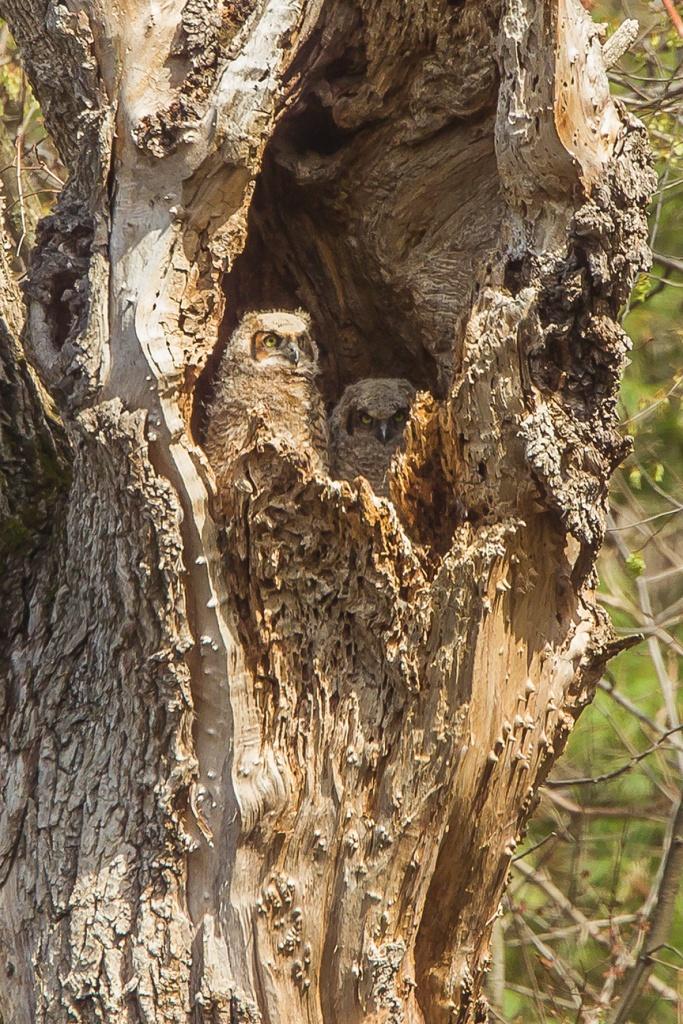 owls v4 mcfaul 2016_43G6965
