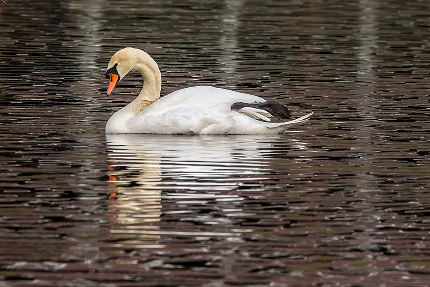 swan mute reflection v2_43G7330