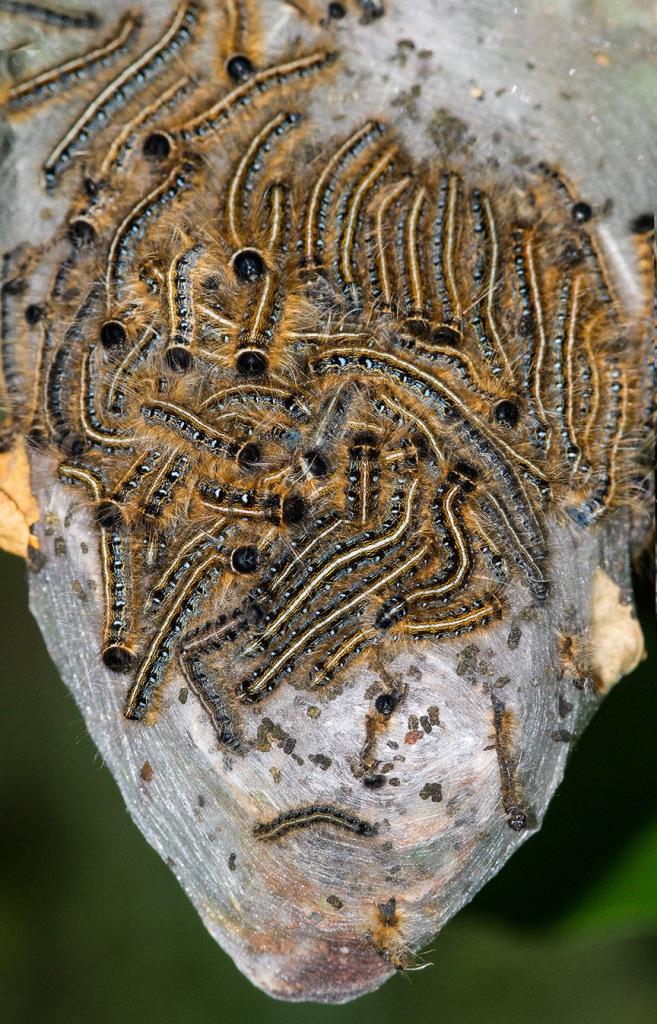Caterpillars v4 2sht pano