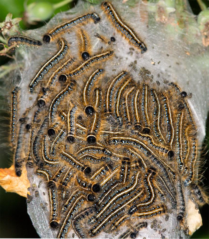 caterpillars v5