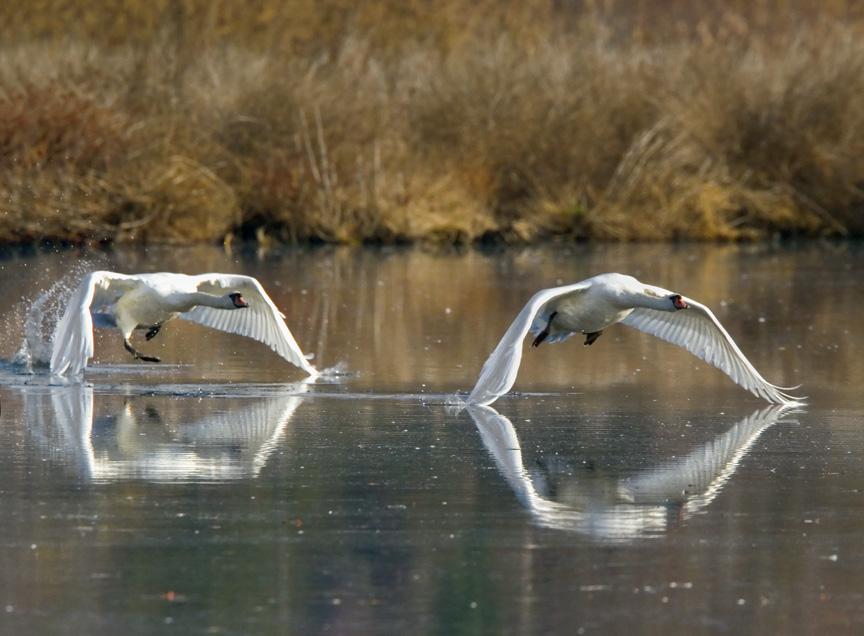 Mute Swan v3_MG_8616aa Take off