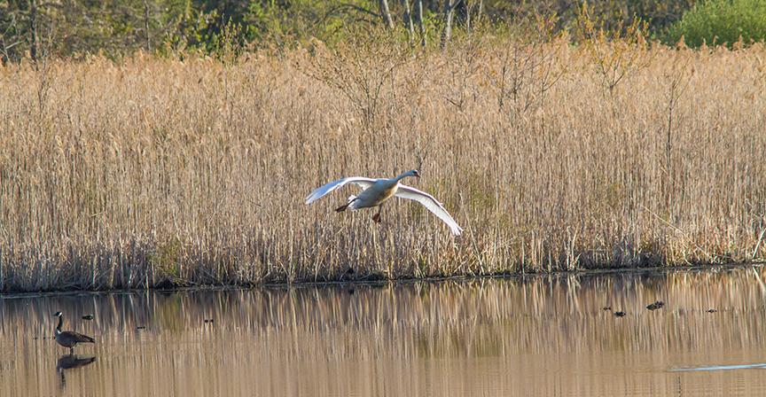 _swan Landing cf 4 16 v2 MG_3133