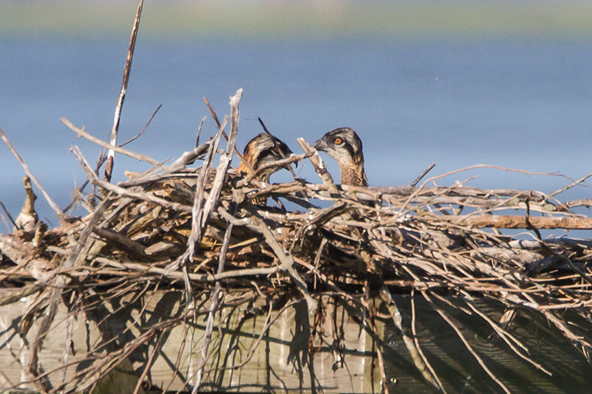 Osprey nest 2chicks_v3 brig 2016__MG_5407