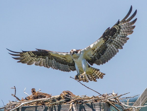 Osprey nest brig_2016 v2 MG_7569