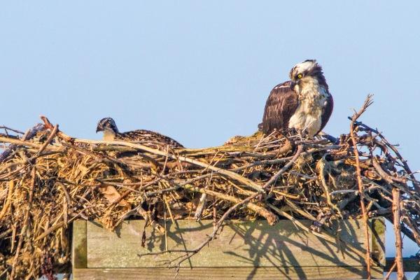 osprey nest w chick v5 brig 2016_MG_5345