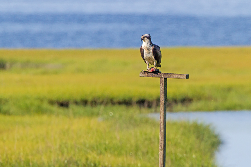 Osprey perch v2 brig 2016_MG_5349