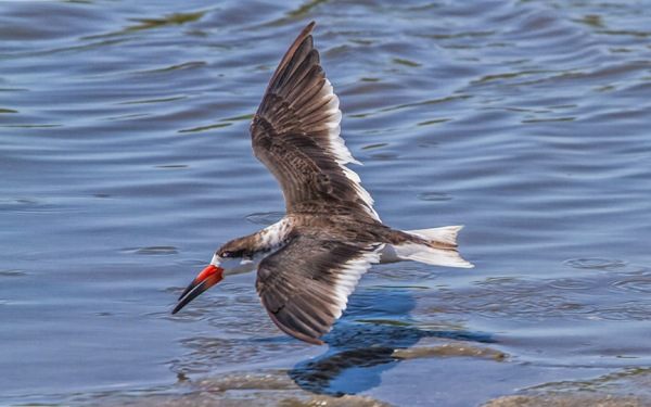 Black Skimmer v3_brig 2016MG_6473