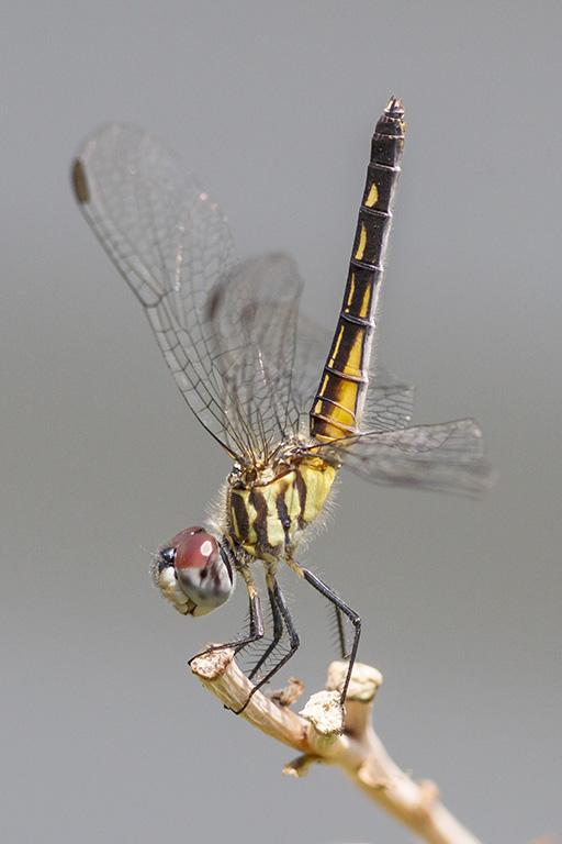 Blue Dasher Female Dragonfly v1_MG_7689