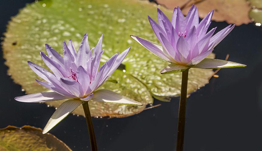 LG water lilies v1_43G0524